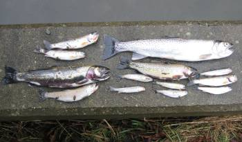 Dead trout, coho smolt collected from Byrne Creek ravine and spawning habitat
